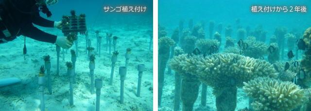 サンゴの植え付けとその後