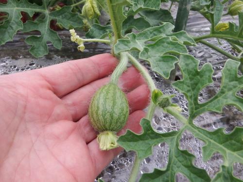 小玉西瓜の現在の大きさ