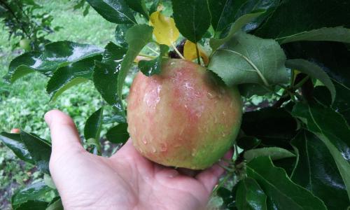 ほんのり赤く色づいた「つがるりんご」
