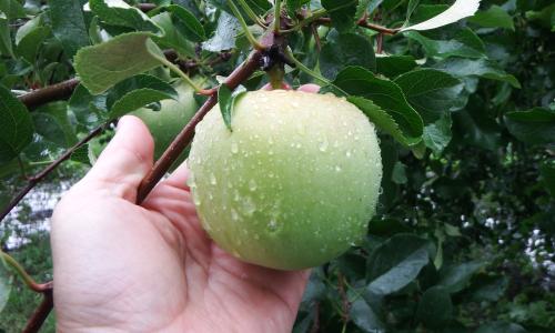 現在のふじりんご