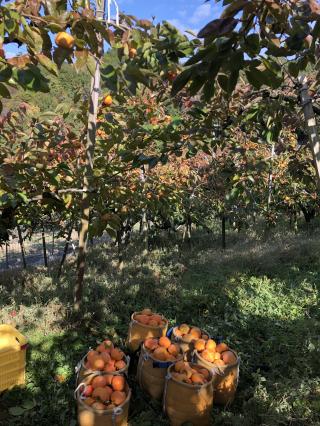 富裕柿の収穫の様子です